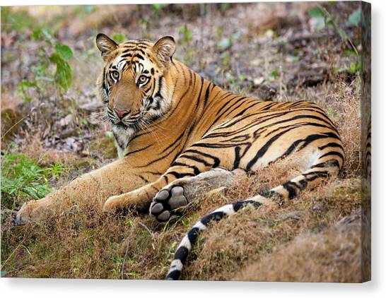 An Adult Tiger In Bandhavgarh National Canvas Print by Mint Images - Art Wolfe