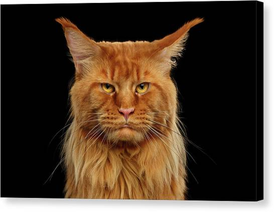 Angry Ginger Maine Coon Cat Gazing On Black Background Canvas Print