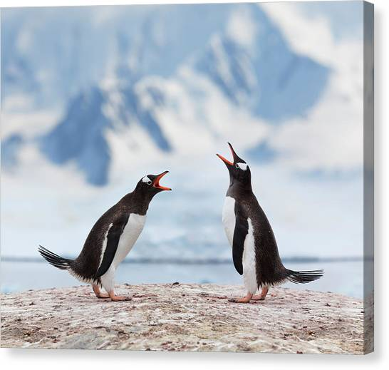 Antarctica Gentoo Penguins Fighting Canvas Print by Grafissimo