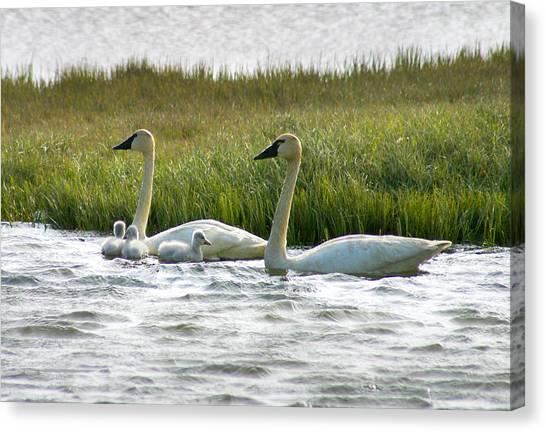 Arctic Tundra Swans And Cygnets Canvas Print
