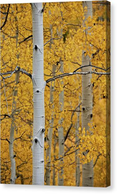 Aspen Trunks Among Yellow Leaves Canvas Print