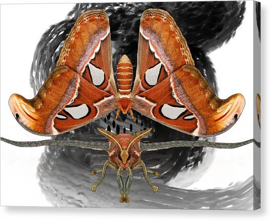 Canvas Print - Atlas Moth7 by Joan Stratton