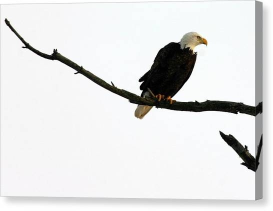 Bald Eagle 120501 Canvas Print