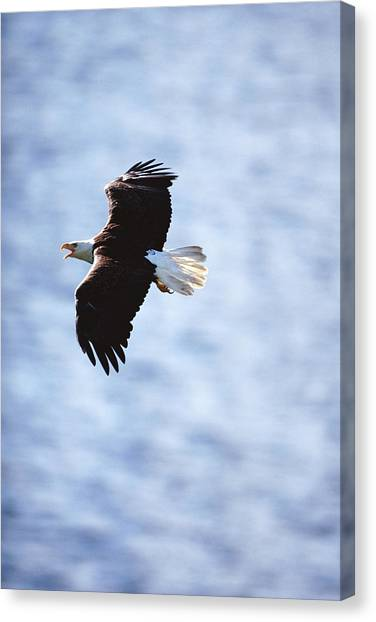 Bald Eagle Haliaeetus Leucocephalus In Canvas Print by Art Wolfe