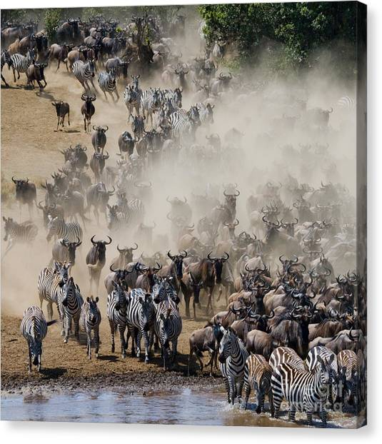 Zoology Canvas Print - Big Herd Of Wildebeest Is About Mara by Gudkov Andrey