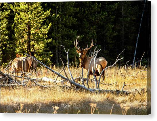 Canvas Print featuring the photograph Bull Elk  by Pete Federico