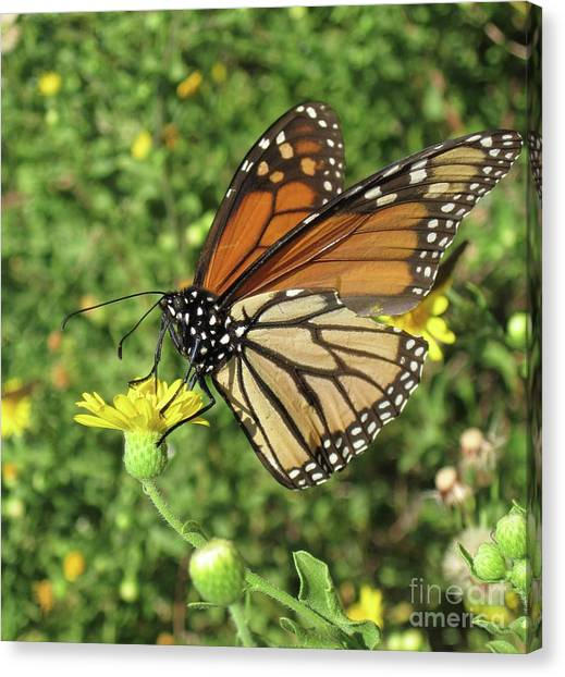 Canvas Print - Butterfly by Megan Cohen
