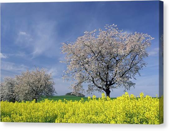 Cherry Tree In Blossom Canvas Print by Cornelia Doerr