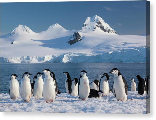 Chinstrap Penguins On Half Moon Island Canvas Print by Mint Images - Art Wolfe