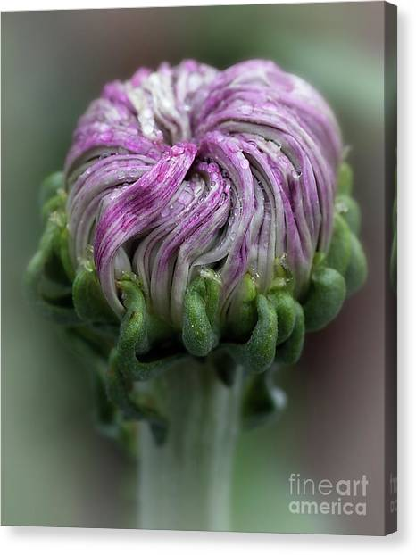 Canvas Print featuring the photograph Chrysanthemum 'lili Gallon' by Ann Jacobson