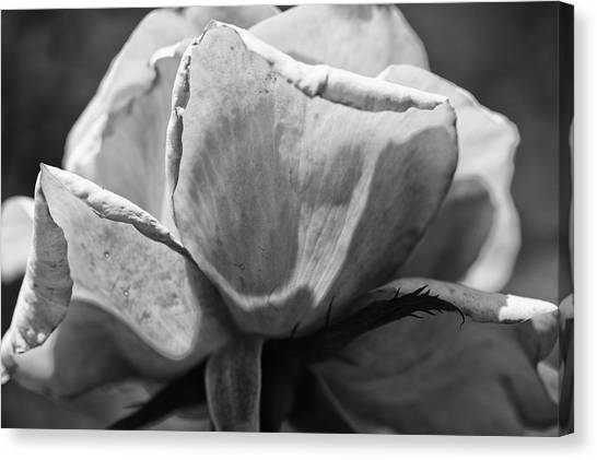 Canvas Print - Close-up Of A Rose, Los Angeles County by Panoramic Images