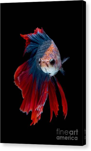 Open Canvas Print - Colourful Betta Fish,siamese Fighting by Nuamfolio