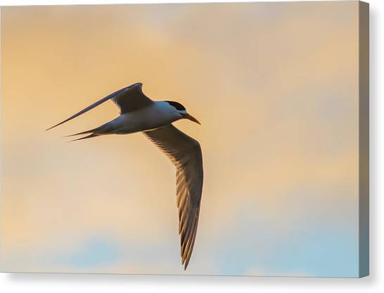 Crested Tern In The Early Morning Light Canvas Print
