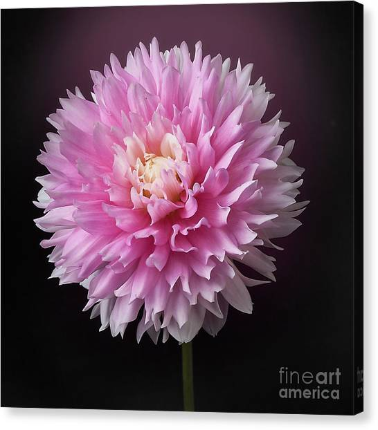 Canvas Print featuring the photograph Dahlia 'chilson's Pride' by Ann Jacobson