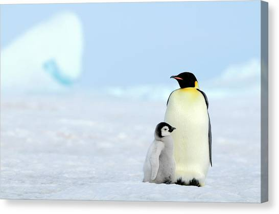 Emperor Penguin Canvas Print by Tcyuen