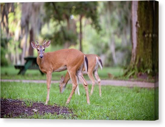 Feeding Deer Canvas Print