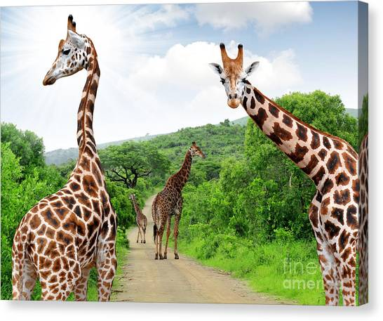 Bush Canvas Print - Giraffes In Kruger Park South Africa by Jaroslava V
