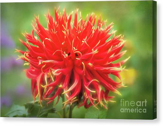 Glorious Sho-n-tell Dahlia Canvas Print
