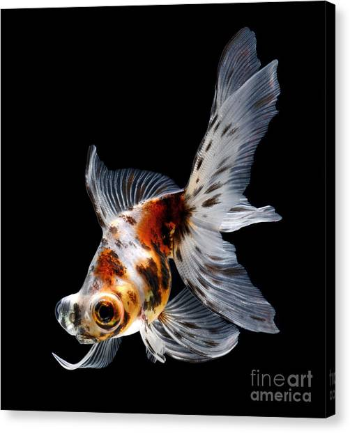 Exercising Canvas Print - Goldfish Isolated On Black Background by Bluehand