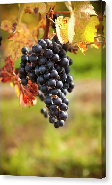 Sonoma Valley Canvas Print - Grapes On A Winery Vine by Pgiam
