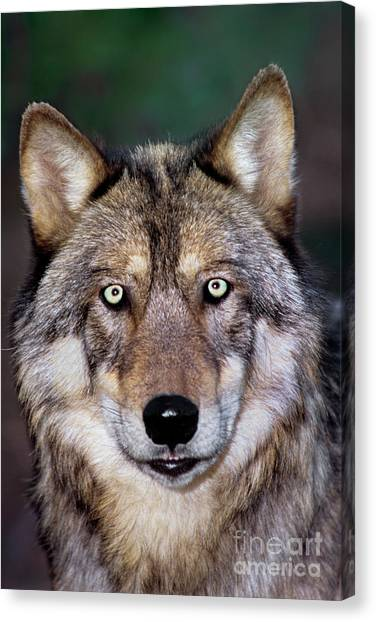 Gray Wolf Portrait Endangered Species Wildlife Rescue Canvas Print