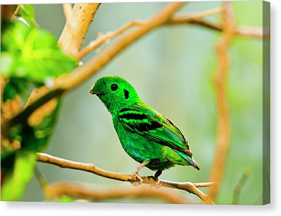 Green Broadbill Canvas Print by By Ken Ilio