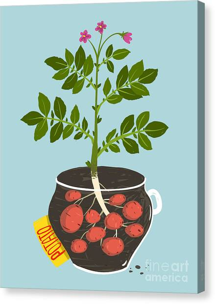 Ingredient Canvas Print - Growing Potato With Green Leafy Top In by Popmarleo
