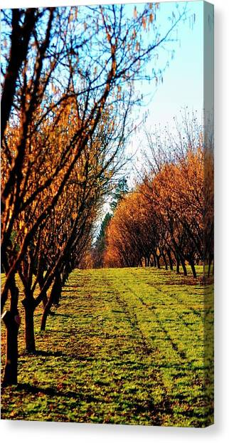 Canvas Print featuring the photograph Hazelnut Orchard 21578 by Jerry Sodorff