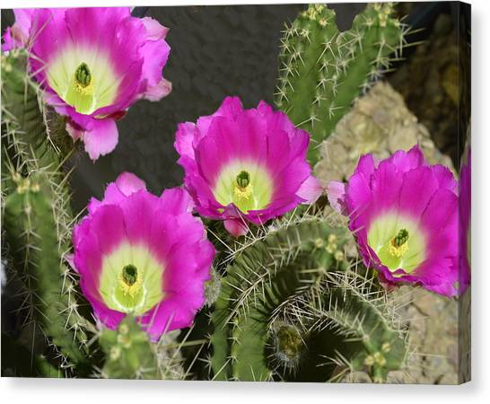 Canvas Print - Hedgehog Cactus by Marilyn Smith