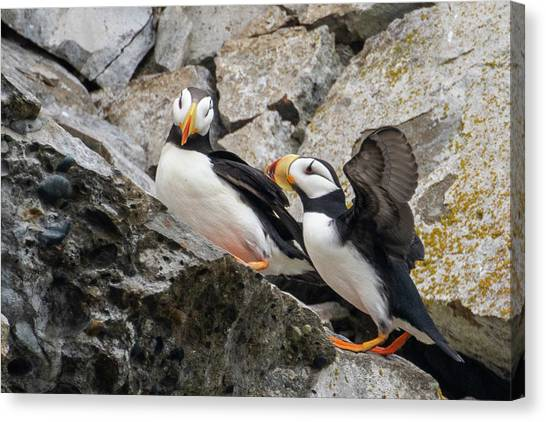 Horned Puffin Pair 2 Canvas Print