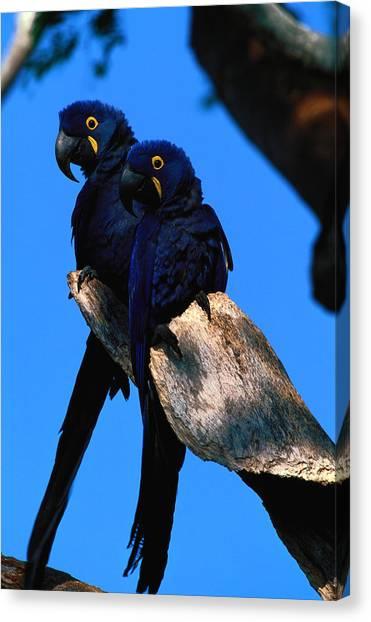 Hyacinth Macaws Anodorhynchus Canvas Print by Art Wolfe