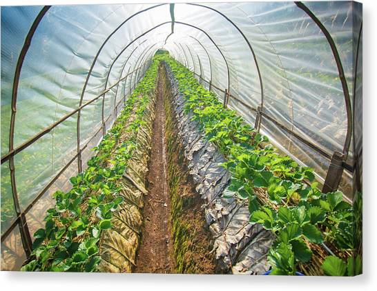 Hydroponic Vegetable In A Garden Canvas Print by Primeimages