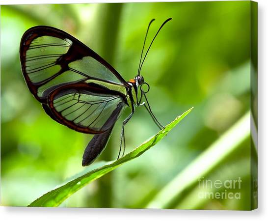 Hummingbirds Canvas Print - Macro Photos From Insects, Nature And by Dudu Linhares