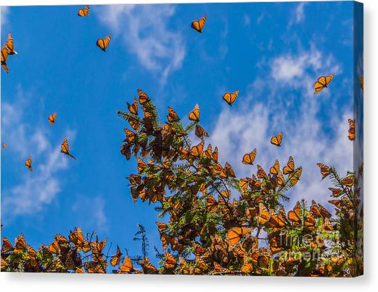 Beauty Canvas Print - Monarch Butterflies On Tree Branch In by Jhvephoto