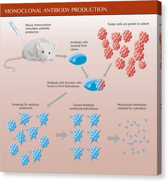 Monoclonal Antibody Production Canvas Print by Monica Schroeder