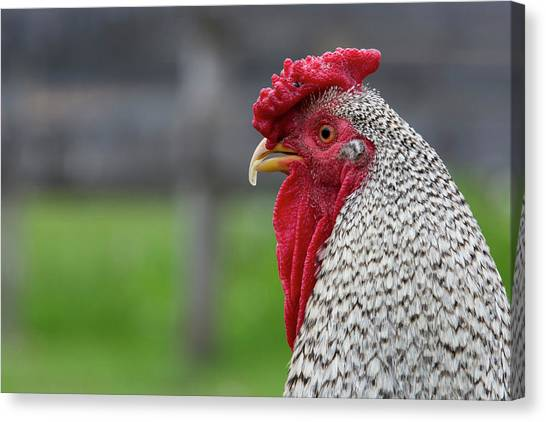 New York Black And White Rooster Canvas Print by Cindy Miller Hopkins