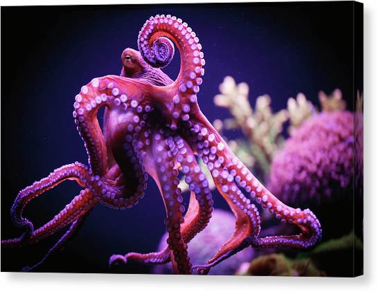 No-one Canvas Print - Octopus by Reynold Mainse / Design Pics