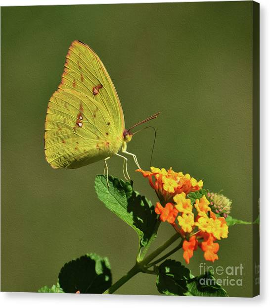 Sulfur Butterfly Canvas Print - Painted Sulfur by Skip Willits