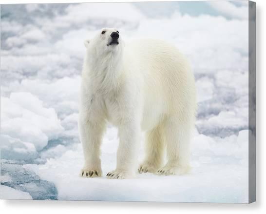 Polar Bear Canvas Print by Kencanning