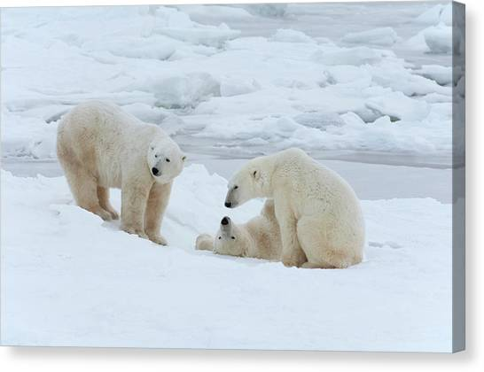 Polar Bears In The Wild. A Powerful Canvas Print by Mint Images - David Schultz