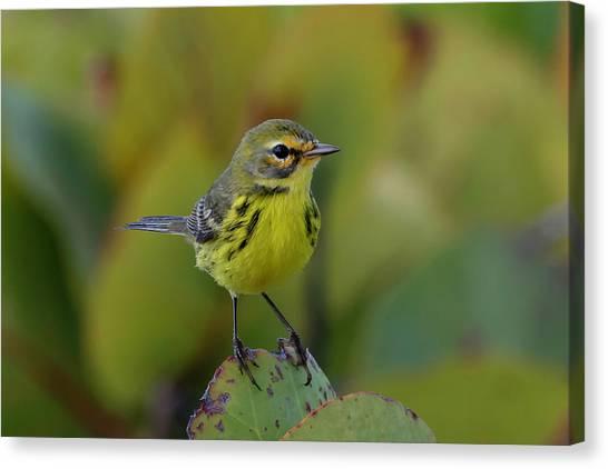 Prairie Warbler Canvas Print
