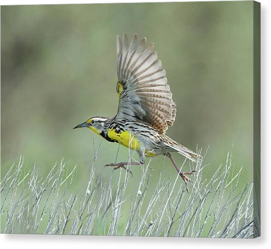 Meadowlarks Canvas Print - Ready To Fly by Cr Courson
