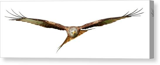 Canvas Print featuring the photograph Red Kite - Bird Of Prey In Flight by Grant Glendinning