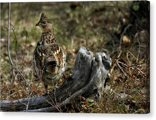 Ruffed Grouse 50701 Canvas Print