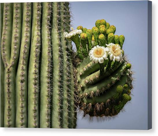 Canvas Print - Saguaro Blooms To The Sky  by Saija Lehtonen
