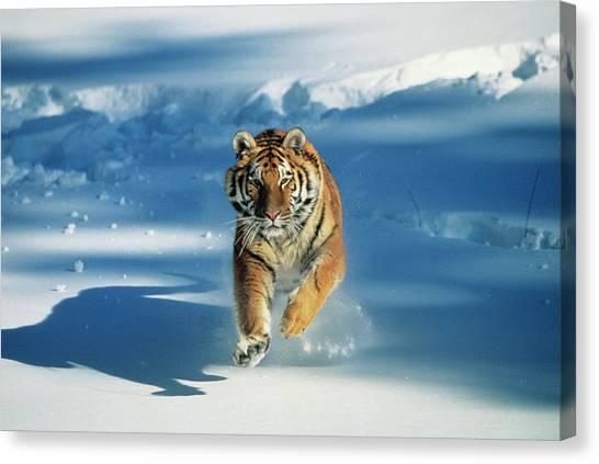 Siberian Tiger Panthera Tigris Altaica Canvas Print