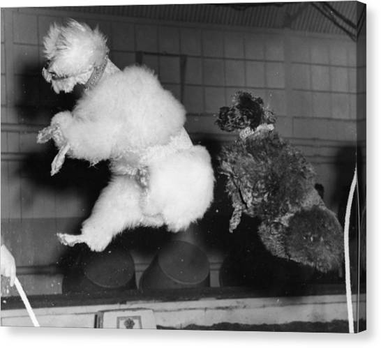 Skipping Poodles Canvas Print by Ron Case