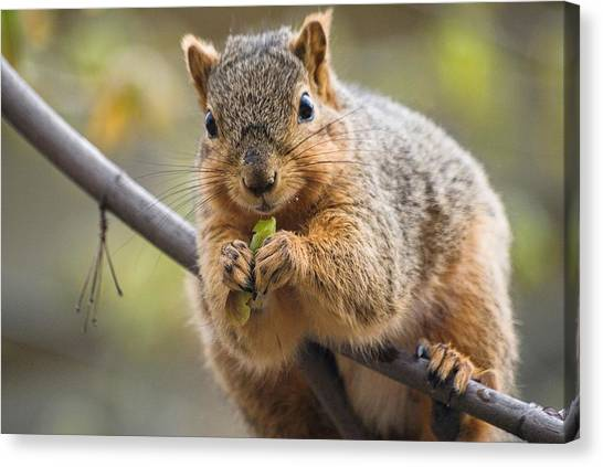 Snacking Squirrel Canvas Print