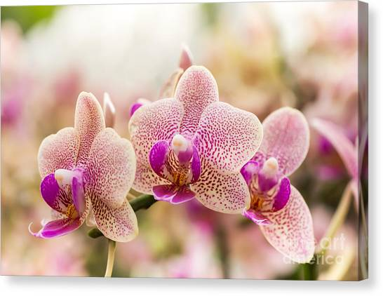 Botany Canvas Print - Streaked Orchid Flowers. Beautiful by Pojvistaimage