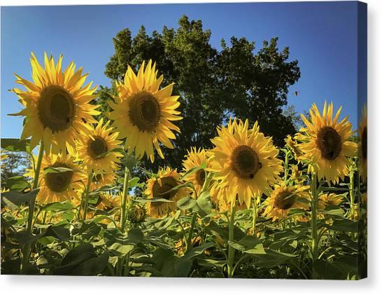 Sunlit Sunflowers Canvas Print